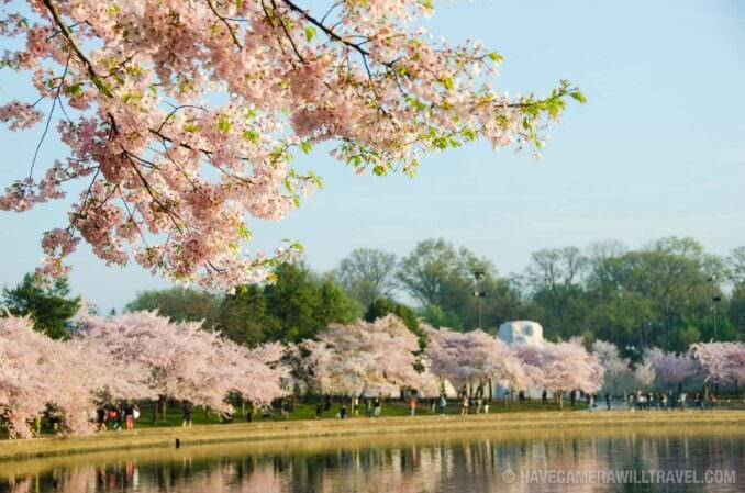 Cherry Blossoms Along the Banks of the Tidal Basin