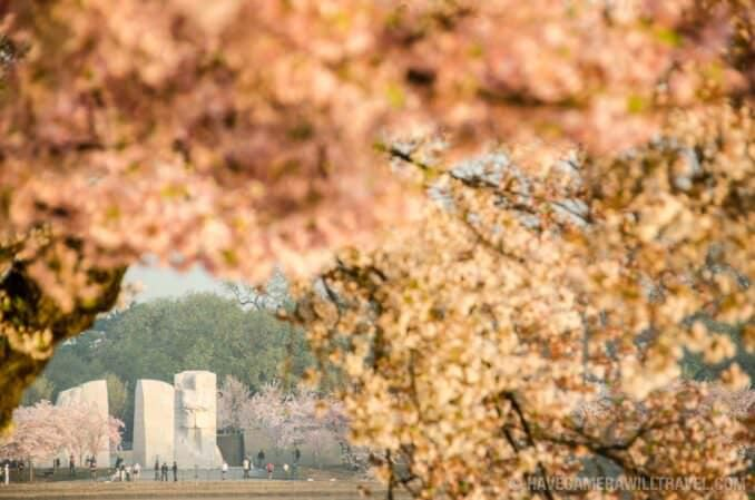 Cherry Blossoms and Martin Luther King Memorial in Washington DC