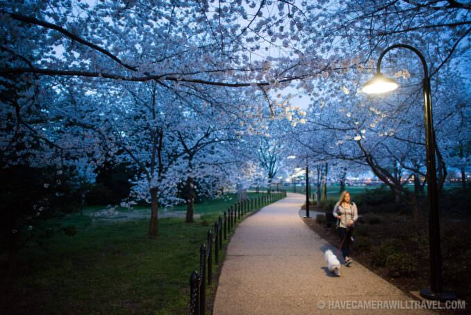 Cherry Blossoms April 11, 2015 - Woman Walking Dog