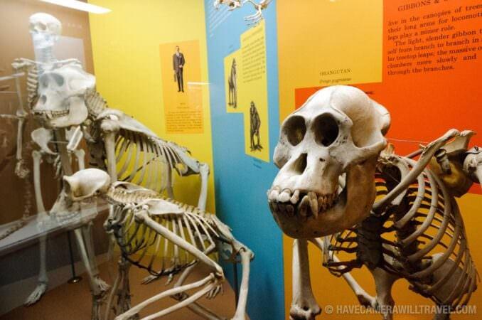 Evolution skeletons Smithsonian Museum