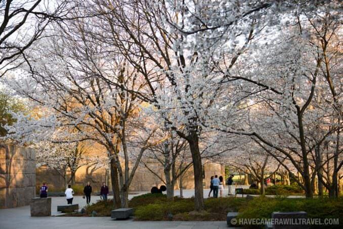 FDR Memorial Cherry Blossoms