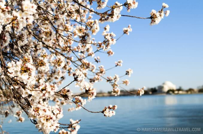 Jefferson Memorial and Washington DC Cherry Blossom Peak Bloom