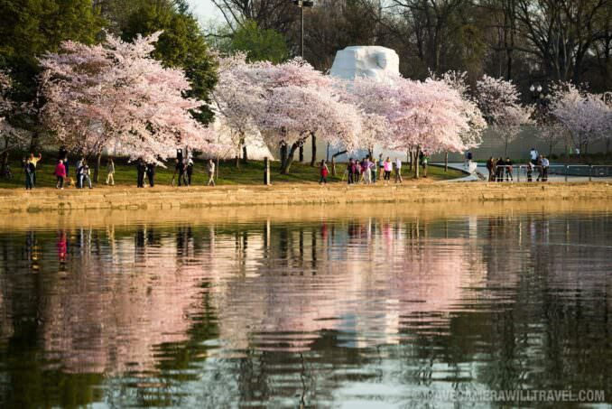 MLK Memorial and Cherry Blossoms in Washington DC