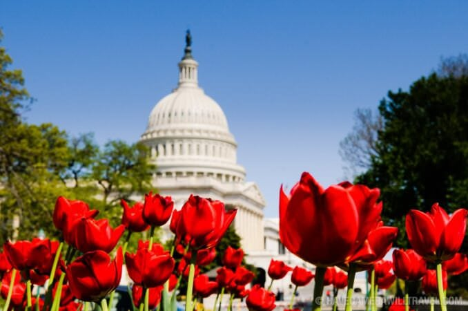 Spring at the Capitol Building with Red Tulips