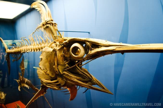 Swordfish skeleton museum exhibit