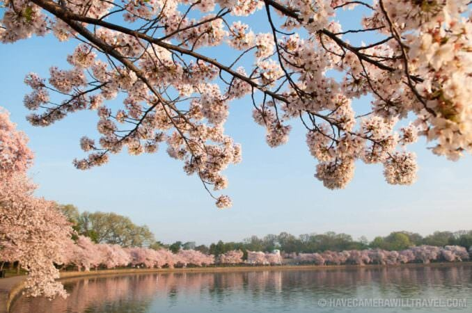 Tidal Basin with Beautiful Cherry Blossoms