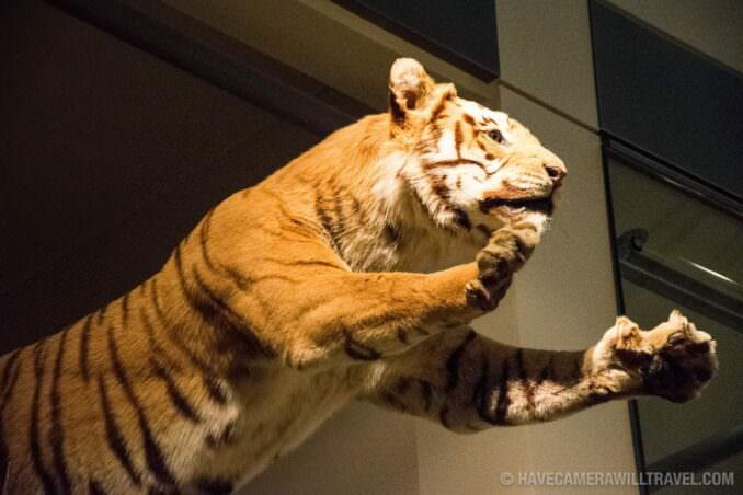 Tiger at the Smithsonian National History of Natural History