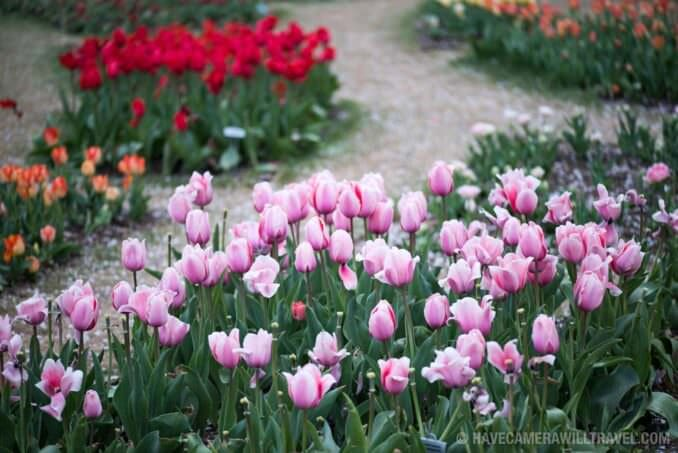 Tulips at the Floral Library in Washington DC