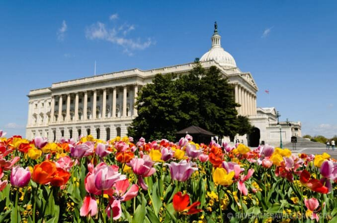 US Capitol Building with Spring Tulips