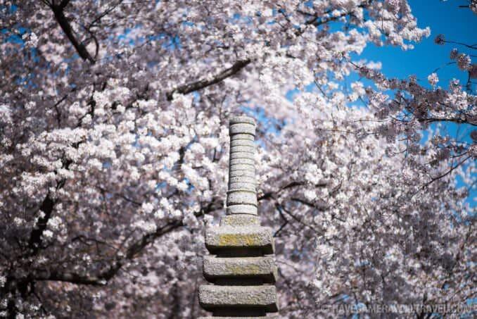 Washington DC Cherry Blossoms 2017 - March 29