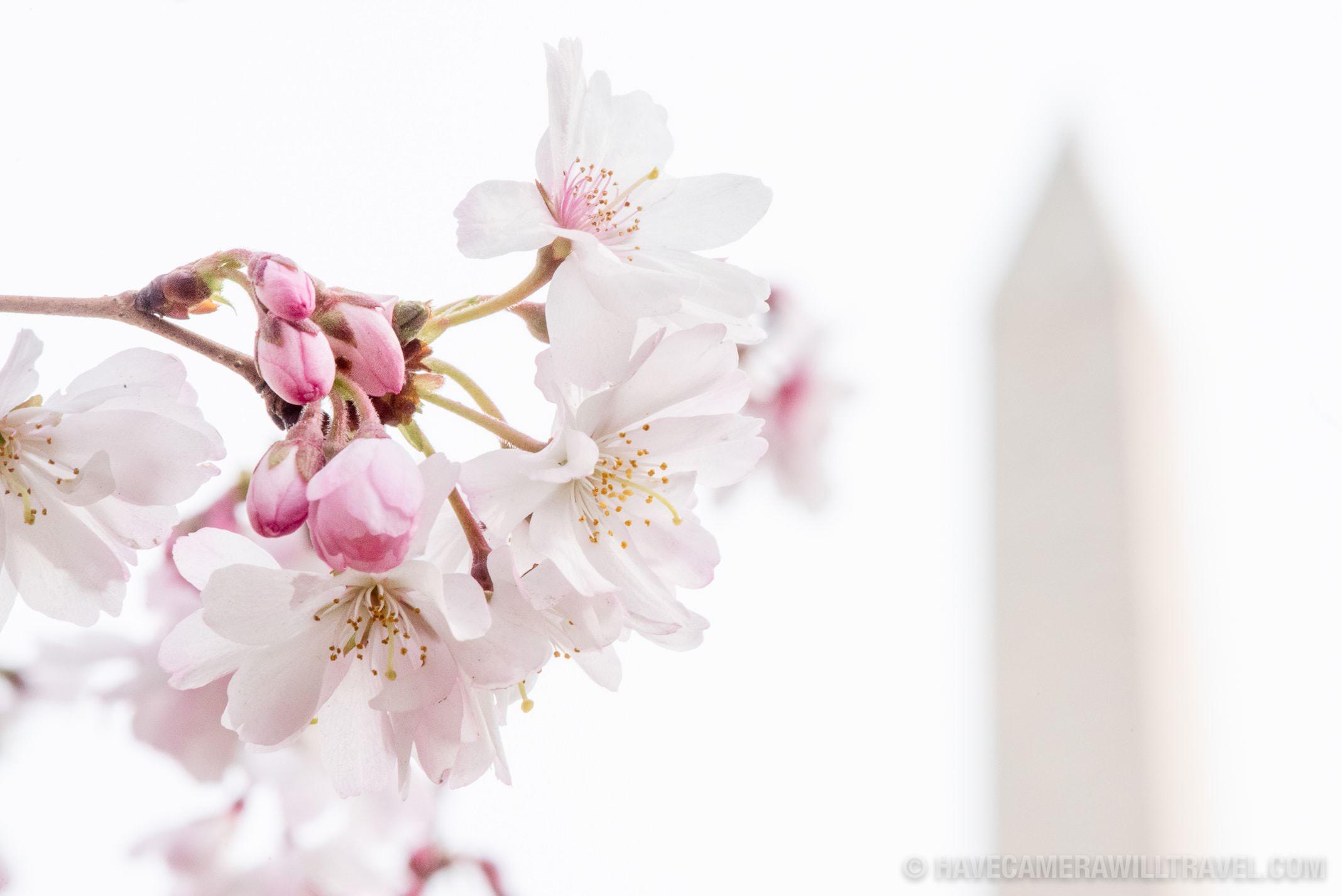 Washington DC Cherry Blossoms - February 27, 2017