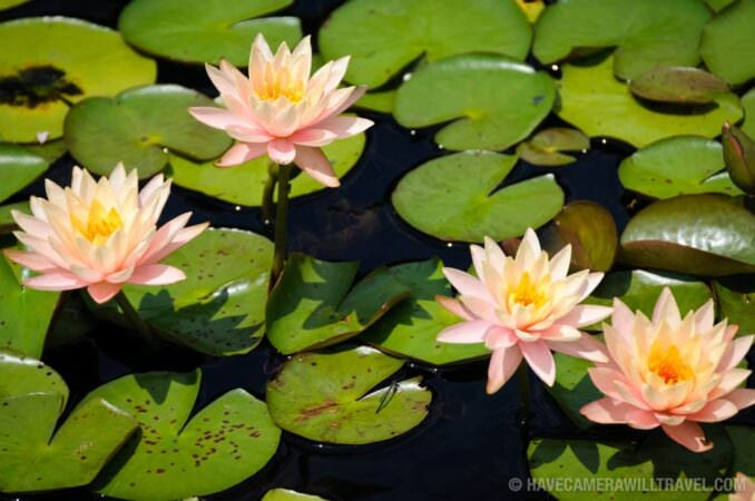 Water lilies at the National Arboretum