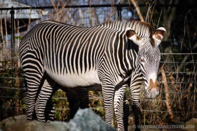 Zebra at National Zoo Washington DC